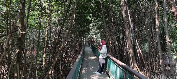 Jalur pedestrian Kawasan Ekowisata Mangrove PIK terbilang adem di tengah teriknya Jakarta Utara.