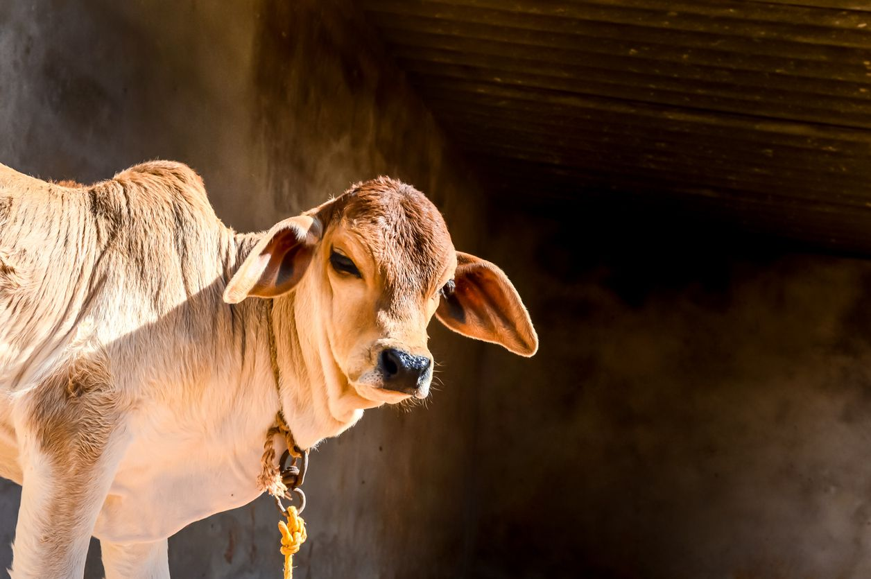 cow calf in farm ,beautiful view of cow calf,brown young cow calf in india