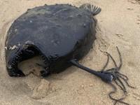 Ikan Monster di California dari jenis Pacific Footballfish, keluarga anglerfish yaitu ikan laut dalam.