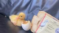 Ikuti Tren TikTok, Wanita Ini Berhasil Tetaskan Telur Bebek Sendiri!