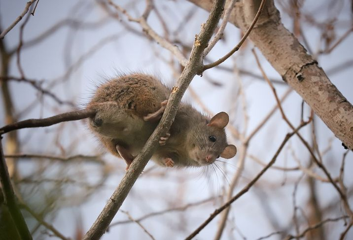 Wow! Ternak Tikus di Thailand Bisa Raup Keuntungan Rp 34 Juta