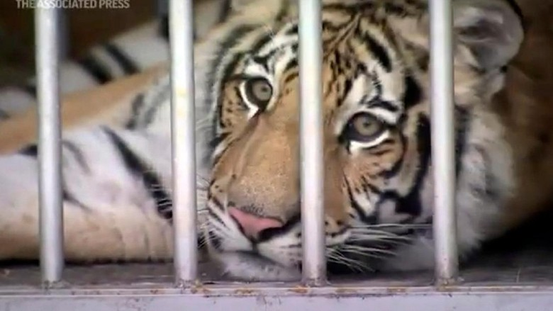 Hilang Seminggu, Akhirnya Harimau Ini ditemukan polisi
