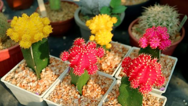 Collection of Colorful Potted Hibotan Cacti pr Moon Cactus Plants at House Veranda