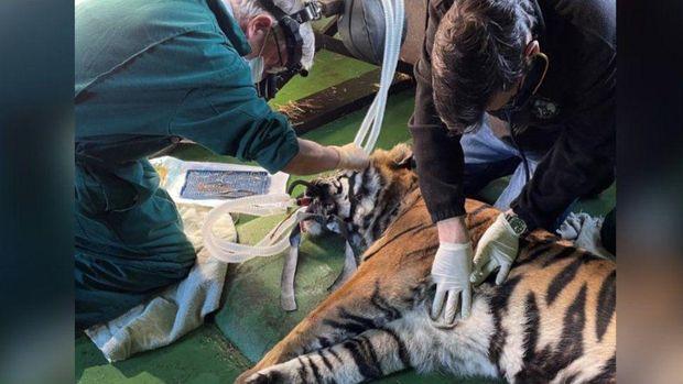 Tak Hanya Manusia, Harimau Juga Bisa Operasi Mata