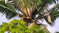 Begini Cara Warga Bangunkan Pria Banyuwangi yang Tidur di Atas Pohon Kelapa