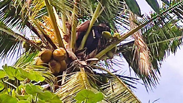orang tidur di atas pohon kelapa