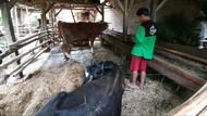 8 Hewan Ternak Warga Tulungagung Mati Mendadak
