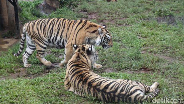 Sensasi Makan dengan Pemandangan Singa dan Harimau