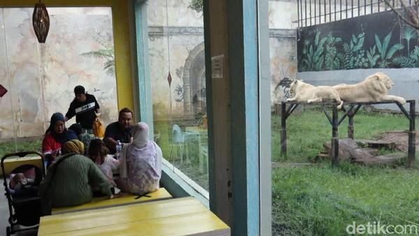 Jika kita berwisata ke obyek wisata ini, kita bisa makan dengan ditemani pemandangan kandang singa dan harimau.