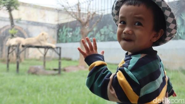 Kandang singa dan harimau ini, bisa kita lihat dibalik kaca yang ada di food court yang ada di Lambang Park Zoo.