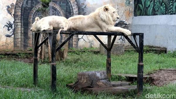 Untuk tiket masuk ke Lembang Park Zoo Rp 50 ribu untuk satu orang.