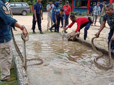 3 Ekor ular sanca muncul di permukiman warga di Kota Kendari, Sultra (dok. Istimewa).