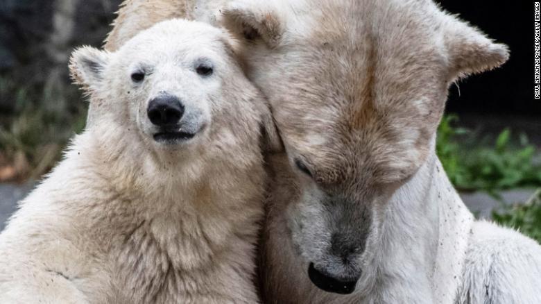 Beruang kutub hasil incest