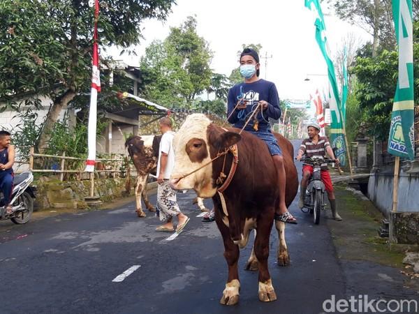 Tradisi menggembala hewan ternak dalam perayaan syawalan di kampung yang berada di lereng Gunung Merapi sisi timur merupakan tradisi tahunan.(Ragil Ajiyanto/detikcom)