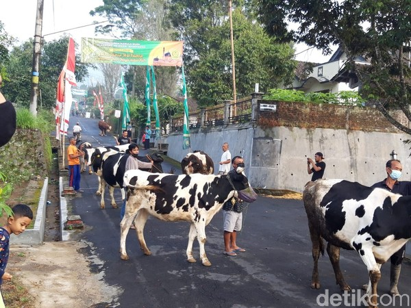 Yang unik, sapi warga ada yang diberikan masker pada mulutnya.(Ragil Ajiyanto/detikcom)