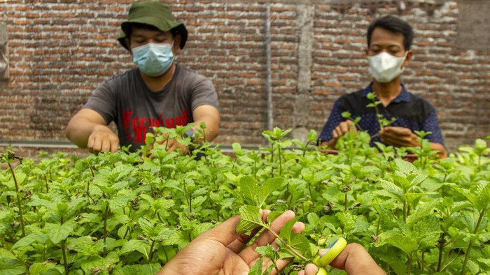 Petani muda mengemas daun tanaman mint (spearta mentha spicata) usai dipanen di kebun Amatta Farm, Desa Purwadana, Telukjambe Timur, Karawang, Jawa Barat, Sabtu (22/5/2021). Pembudidayaan tanaman mint di kebun tersebut dapat menghasilkan 50 kilogram daun tanaman mint per bulan dan dijual dengan harga Rp9 ribu per 50 gram untuk memenuhi kebutuhan pasar swalayan modern, kafe dan restoran serta masyarakat. ANTARA FOTO/M Ibnu Chazar/foc.