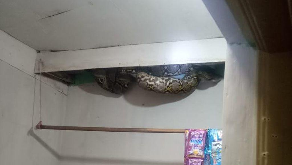 Penampakan Ular Sanca 4 Meter Muncul di Plafon Rumah Warga Jakbar