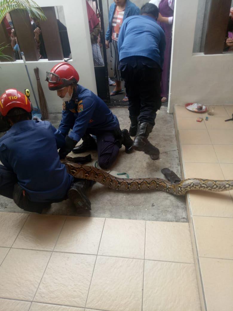 Ular muncul di plafon rumah warga di Jakbar