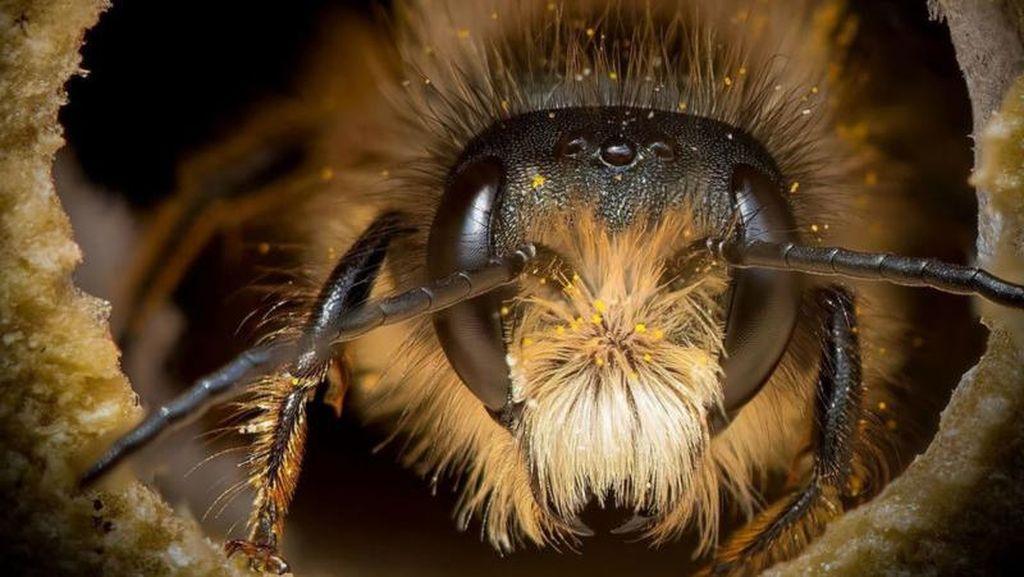 Potret Cantik Lebah dari Jarak Dekat