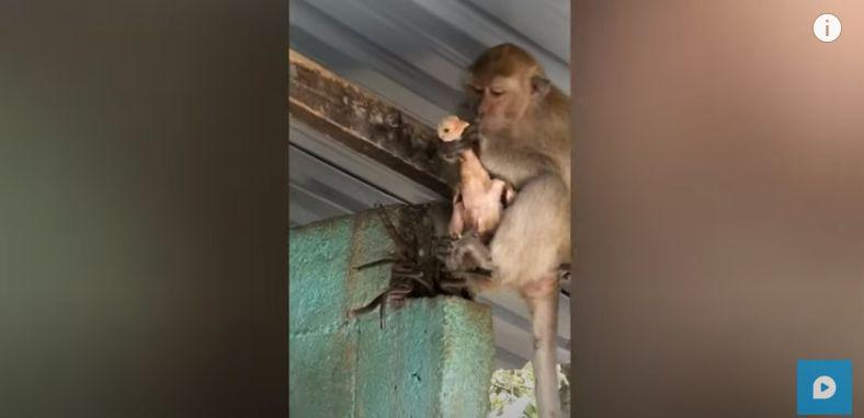 Ngakak! Monyet Ini Sandera Ayam Peliharaan Agar Dapat Makanan Enak