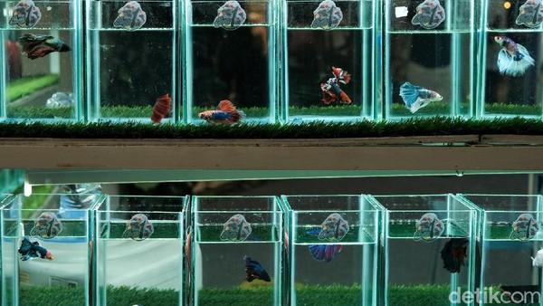 Di pameran yang bernama Betta Fishtival ini pengunjung dapat melihat beragam ikan cupang yang ditampilkan di lapak-lapak para pedagang yang menjual beragam ikan cupang tersebut.