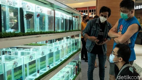 Ikan cupang yang dijual dibanderol dengan harga yang beragam dari harga ratusan ribu hingga jutaan rupiah.
