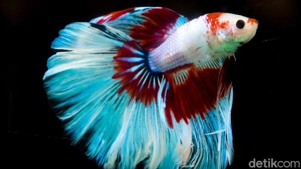 Selain itu, Betta Fishtival juga menyelenggarakan kontes ikan cupang dengan total hadiah puluhan juta Rupiah.