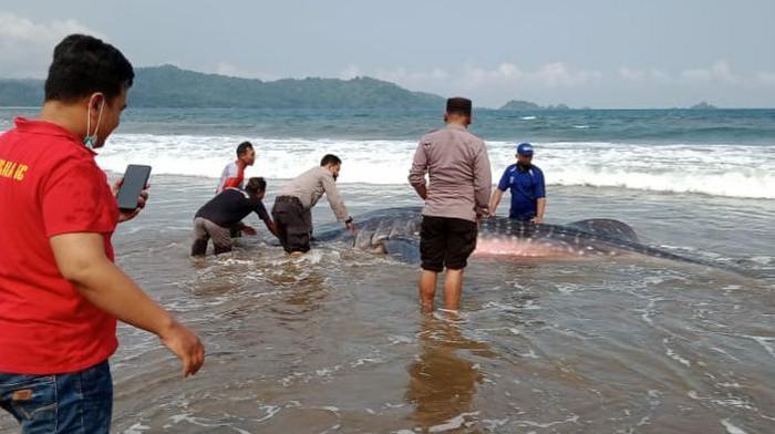 hiu paus terdampar di trenggalek