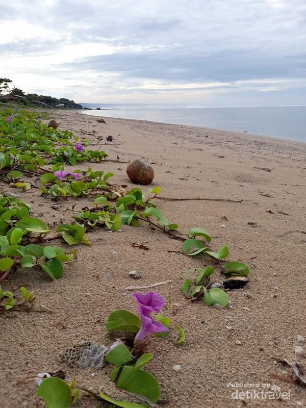 Bibir Pantai Sayang Heulang dipercantik dengan tumbuhnya hamparan bunga merambat