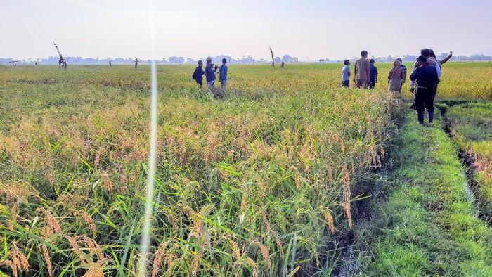 Petani di Situbondo Kembangkan Padi Varietas Baru, Hasilkan 2X Lipat Dari Normalnya