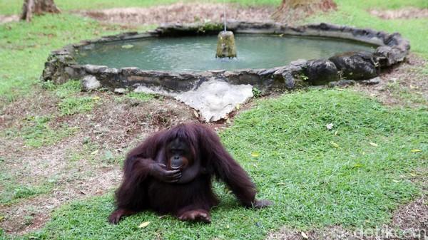 Orangutan sedang duduk santai saat warga mendatangi kandangnya.