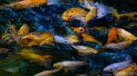 Disulap Jadi Kolam Ikan, Selokan di Pamulang Ramai Didatangi Warga