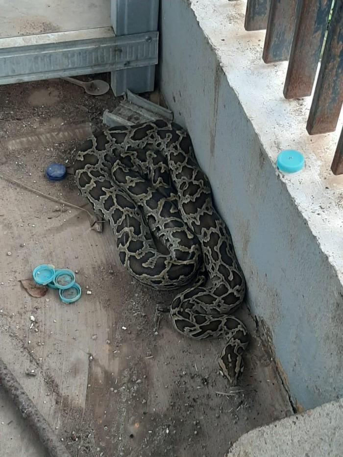 Ular sanca batik seketika muncul di halaman rumah warga di Kota Makassar (dok. Istimewa).