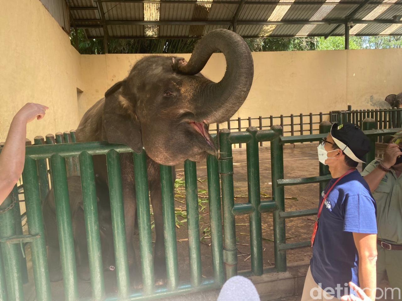 Gajah Pulisia di Taman Safari Indonesia
