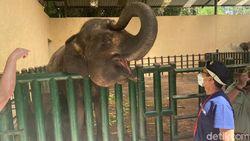 Dinamai oleh Sandiaga Uno, Ini Gajah Pulisia di Taman Safari