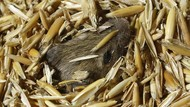 Hama Tikus Serang Pertanian di Australia