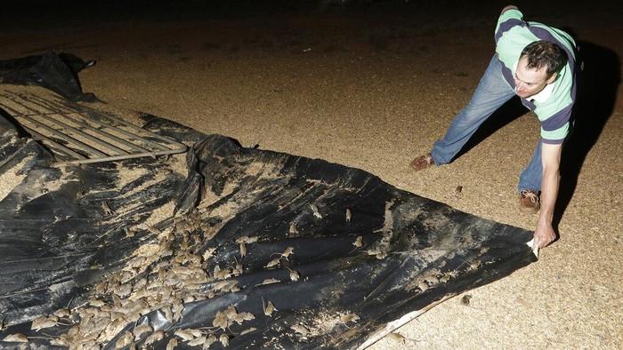 Hama tikus menyerang ladang pertanian di negara bagian New South Wales Australia.