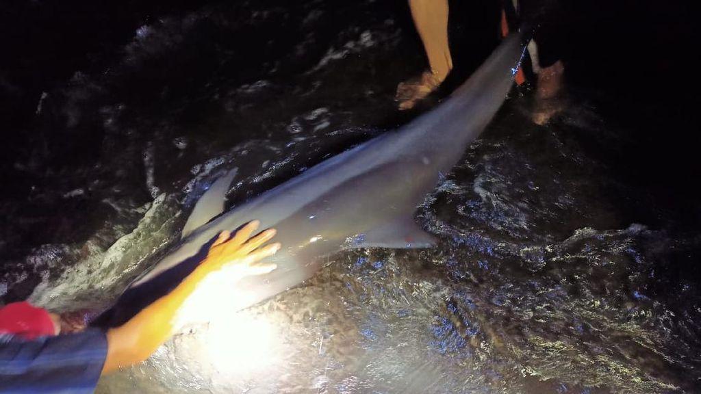 13 Lumba-lumba Terdampar di Pantai Batu Tumpeng Bali, 2 Alami Luka