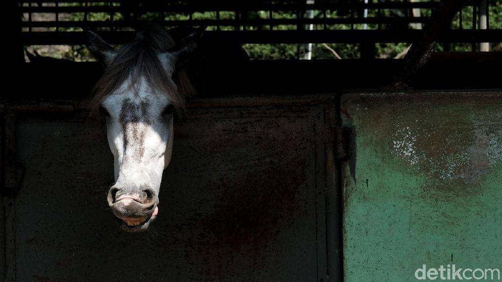 Mengintip Perawatan Kuda di Pamulang
