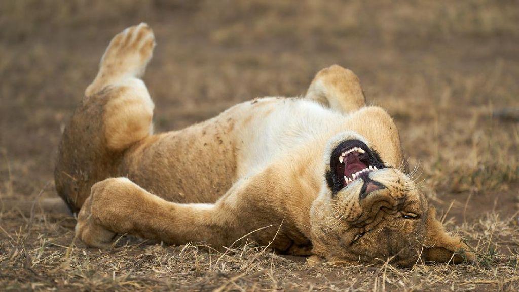 Tingkah Hewan yang Kocak dalam Comedy Wildlife Photography Awards