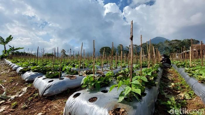 lahan pertanian di lembang