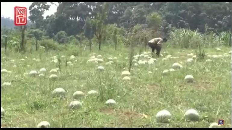 petani bagikan 20 ton semangka karena imbas pandemi