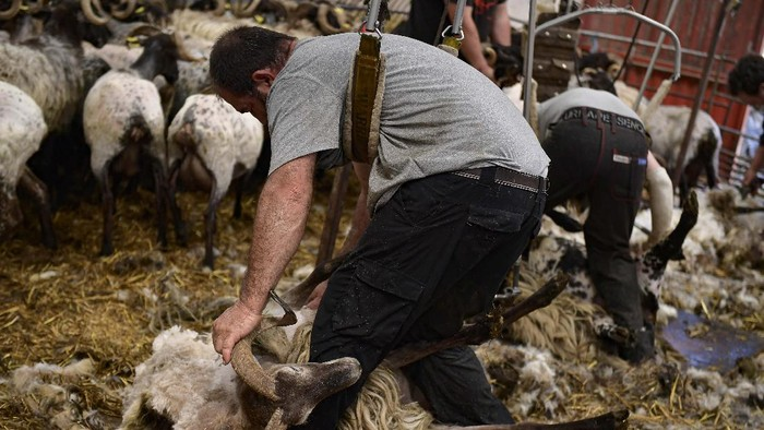 Shearer Juan Ramon works with a flock of sheep in the small Pyrenean village of Bizkarreta, northern Spain, Saturday, May 29, 2021.  The sheep are normally shorn before the summer season gets too hot for the animals with their fleeces. (AP Photo/Alvaro Barrientos)