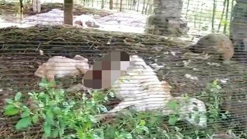 Kambing Mati Misterius Sudah Tiga Kali Terjadi di Banyuwangi