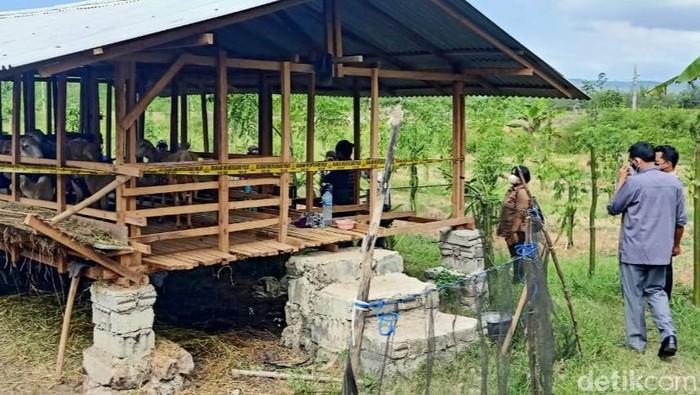 Lima kambing mati misterius di Banyuwangi pada Minggu (30/5). Kini, polisi melakukan penyelidikan terkait matinya hewan ternak warga tersebut.