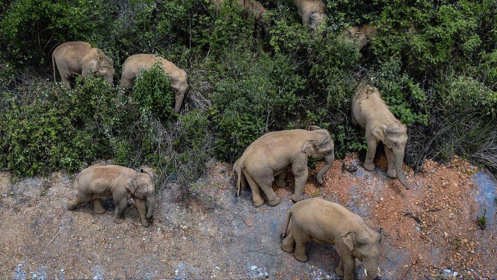 Kawanan Gajah Liar Ancam Keamanan Warga di China