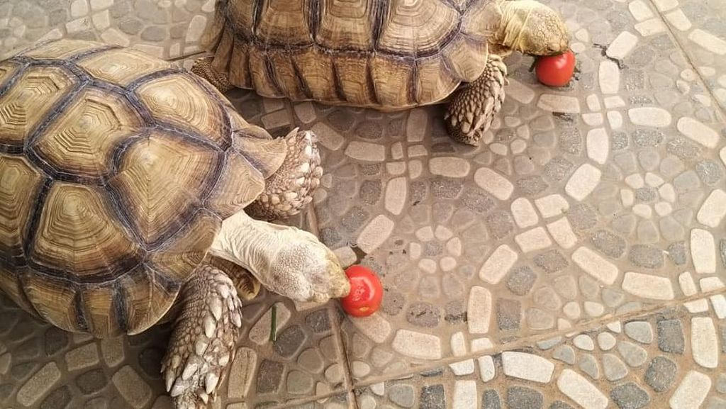 Kura-kura Rp 90 Juta Dicuri, Pria Bogor Gelar Sayembara Hadiah Motor