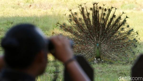 Saat ini di TN Alas Purwo memasuki musim kawin merak hijau yang diperkirakan berlangsung hingga bulan september.