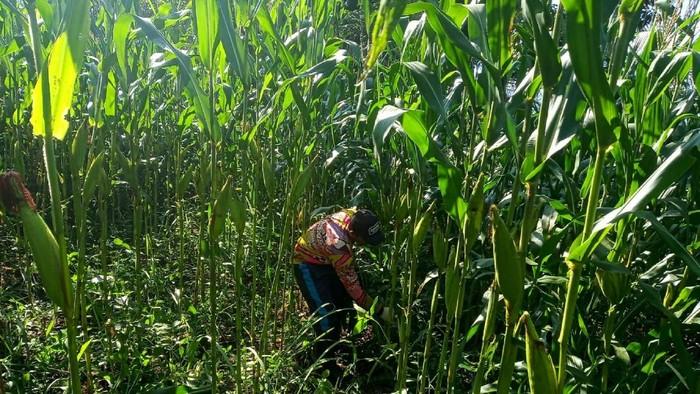 Petani Milenial Cianjur cek kondisi tanaman jagung yang digarapnya
