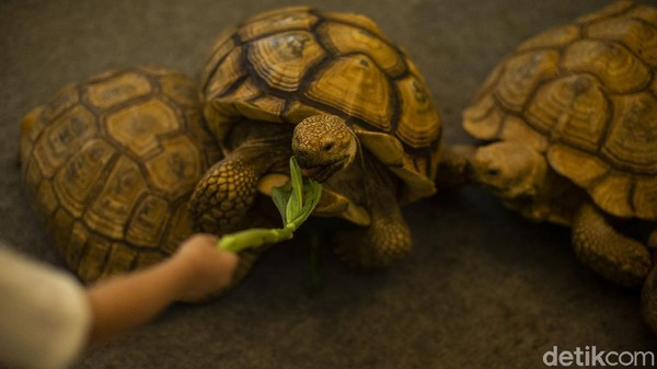Untuk dapat memberi makan kura-kura, pengunjung dapat membeli tiket seharga Rp 25 ribu. Nantinya petugas akan memberi pengunjung makanan hewan.